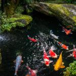 Koi Karpfen in Japan